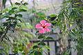 Hibiscus (জবা).JPG