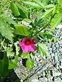 Hibiscus cannabinus-2-korimedu-salem-India.jpg
