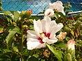 Hibiscus syriacus, Fryšták (2).jpg