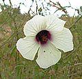 Hibiscus trionum (26081503386).jpg