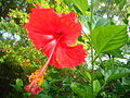 Hibiskus at Bhopal1.JPG