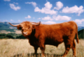 Highland cattle.png