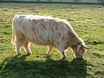 Highland cow - silver dun.jpg