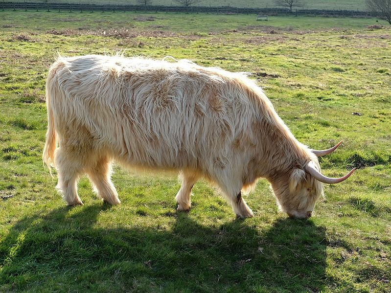 File:Highland cow - silver dun.jpg