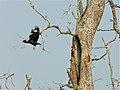 Hill Mynah (Gracula religiosa) leaving its nest (8064094923).jpg