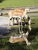 Hirschziegenantilope Antilope cervicapra Tierpark Hellabrunn-28