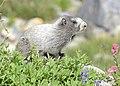 Hoary Marmot, Mt. Rainier 02.jpg
