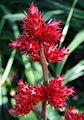 Hohenbergia stellata.JPG