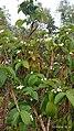 Holarrhena pubescens plant.jpg