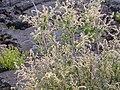 Holodiscus dumosus (4429604047).jpg