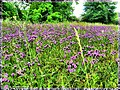 Homestead Purple Field - Flickr - pinemikey.jpg