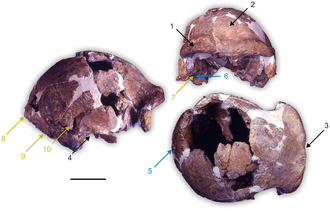Homo cepranensis - Holotype skull