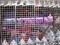 Hong Kong Goldfish Market IMG 5494.JPG