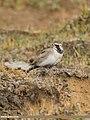 Horned Lark (Eremophila alpestris) (48051249323).jpg