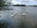 Hornsea Mere Birdlife - geograph.org.uk - 541102.jpg