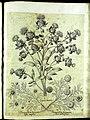 Hortus Eystettensis, Vorzeichnungen (MS 2370 2952770) -Aestiva,11,3.jpg