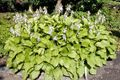 Hosta plantaginea cv Royal Standard 1.jpg