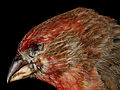 House Finch, M, side of face, Convention Center, 5.25.12 2013-04-12-14.15.04 ZS PMax (8647208012).jpg