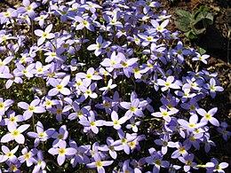 Houstonia caerulea 'Millard's Variety' 2