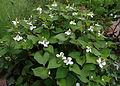 Houttuynia cordata - Parc floral.JPG