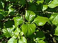 Hydrangea anomala subsp. petiolaris 2019-04-16 0142.jpg