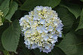 Hydrangea macrophylla 'Endless Summer' IMG 0189.jpg