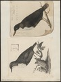 Hydrobata cinclus - 1700-1880 - Print - Iconographia Zoologica - Special Collections University of Amsterdam - UBA01 IZ16300387.tif
