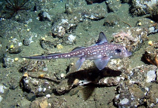Ghost Shark: Chimaera 640px-Hydrolagus_colliei