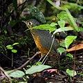 Hylopezus nattereri - Speckle-breasted antpitta.JPG