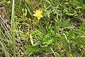 Hypericum lobocarpum.jpg