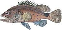 Hyporthodus niveatus.jpg