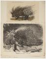 Hystrix cristata - 1700-1880 - Print - Iconographia Zoologica - Special Collections University of Amsterdam - UBA01 IZ20600045.tif