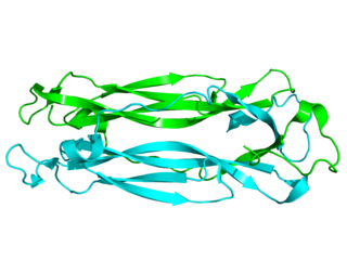Interleukin 17 Inerleukin 17 protein family containing interleukins 17A, 17B, 17C, 17D, 17E and 17F