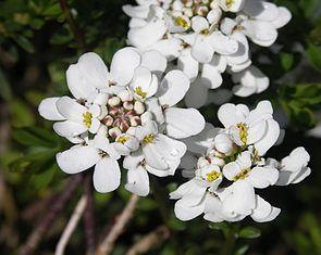 Immergrüne Schleifenblume (Iberis sempervirens)