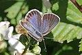 Idas blue (Plebejus idas) female Sweden.jpg