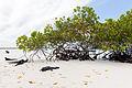 Iguanas marinas (Amblyrhynchus cristatus), Bahía Tortuga, isla Santa Cruz, islas Galápagos, Ecuador, 2015-07-26, DD 29.JPG