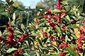 Ilex verticillata Maryland Beauty 6zz.jpg