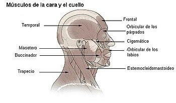 Nervio mandibular wikipedia la enciclopedia libre share the