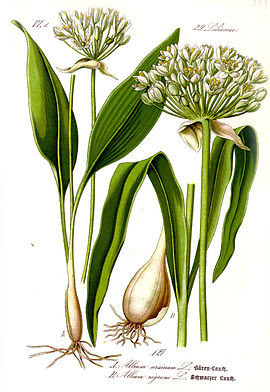 Allium ursinum (beirlook)