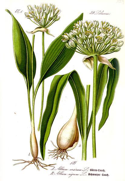 Fichier:Illustration Allium ursinum1.jpg