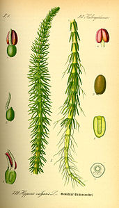Illustration Hippuris vulgaris0.jpg