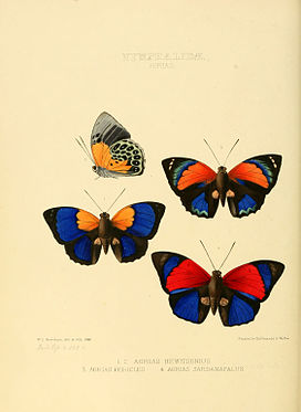 Illustrations of new species of exotic butterflies Agrias.jpg
