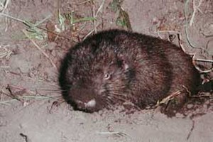 Mountain beaver - Immature mountain beaver