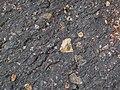 Impact breccia (Sandcherry Member, Onaping Formation, Paleoproterozoic, 1.85 Ga; High Falls roadcut, Sudbury Impact Structure, Ontario, Canada) 33 (32816209167).jpg