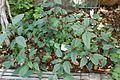 Impatiens hians-Jardin botanique Jean-Marie Pelt (2).jpg