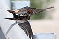 In-flight and Mid-air feeding of juvenile cliff swallow by an adult.jpg