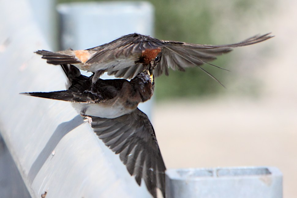 In-flight and Mid-air feeding of juvenile cliff swallow by an adult