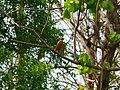 Indian Pitta - Pitta brachyura - P1040290.jpg