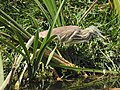 Indian Pond Heron DSCN5752.jpg