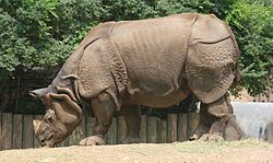 Indian Rhinoceros - Buffalo Zoo.jpg